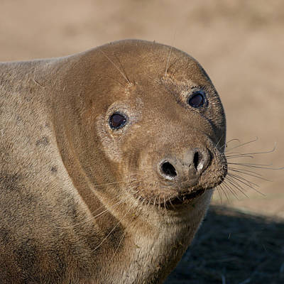 Photograph - Grey Seal by Karen Van Der Zijden