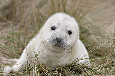 Photograph - Grey Seal Pup by Karen Van Der Zijden