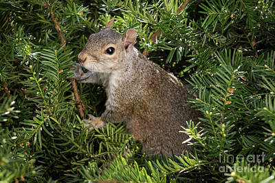 Photograph - Grey Squirrel by Eleanor Abramson