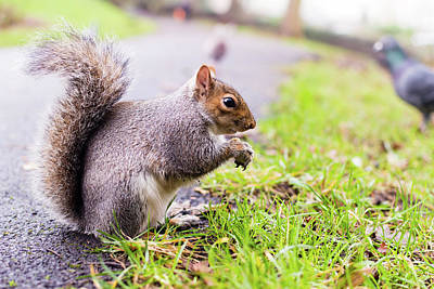 Photograph - Grey Squirrel In Autumn Park A by Jacek Wojnarowski