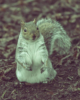 Photograph - Grey Squirrel In Autumn Park A3 by Jacek Wojnarowski