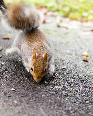 Photograph - Grey Squirrel In Autumn Park B by Jacek Wojnarowski