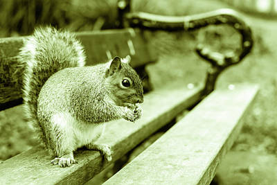 Photograph - Grey Squirrel In Autumn Park C by Jacek Wojnarowski