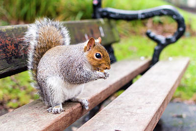 Photograph - Grey Squirrel In Autumn Park D by Jacek Wojnarowski
