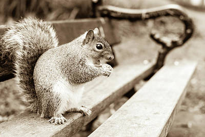 Photograph - Grey Squirrel In Autumn Park E by Jacek Wojnarowski