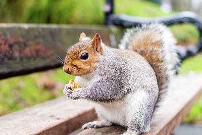 Photograph - Grey Squirrel In Autumn Park F by Jacek Wojnarowski