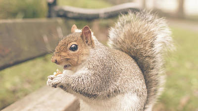 Photograph - Grey Squirrel In Autumn Park H by Jacek Wojnarowski