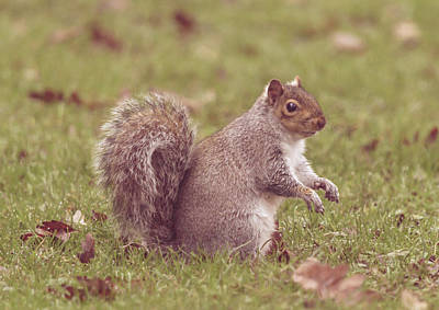 Photograph - Grey Squirrel In Autumn Park M by Jacek Wojnarowski