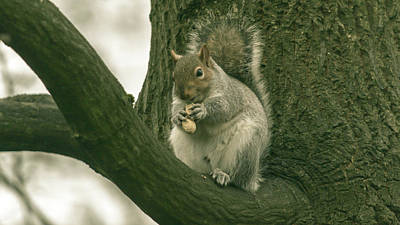 Photograph - Grey Squirrel In Autumn Park R by Jacek Wojnarowski