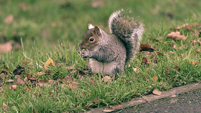 Photograph - Grey Squirrel In Autumn Park T by Jacek Wojnarowski