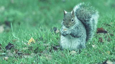 Photograph - Grey Squirrel In Autumn Park U by Jacek Wojnarowski