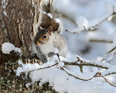 Photograph - Grey Squirrel In Winter by Amy Porter