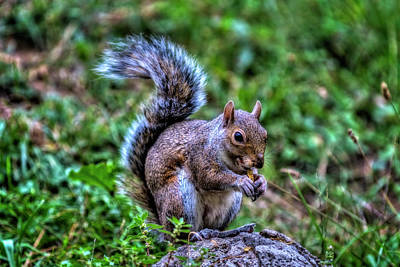 Photograph - Grey Squirrel by Roberto Pagani