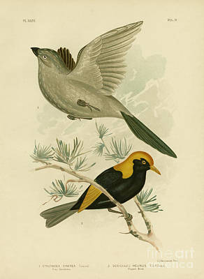 Black Bird.flying Art Painting - Grey Struthidea Or Apostlebird by Gracius Broinowski