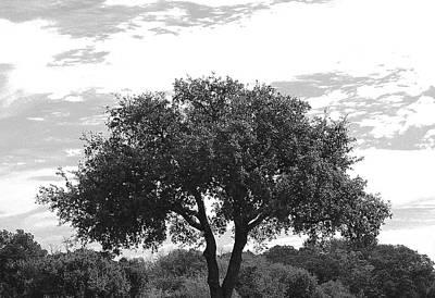 Photograph - Grey Tones Austin Tree by Ellen Barron O'Reilly