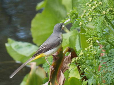 Photograph - Grey Wagtail by Matt Swann