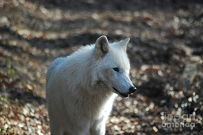 Photograph - Grey Wolf 20131216_25 by Tina Hopkins