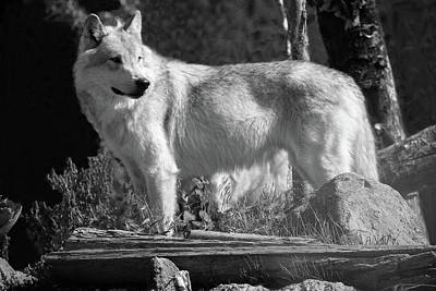 Photograph - Grey Wolf by Aidan Moran