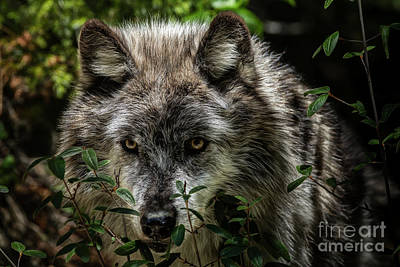 Photograph - Grey Wolf by Brad Allen Fine Art