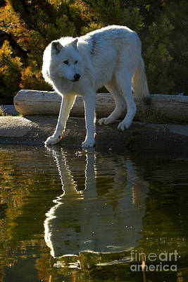 Grey Wolf By The Lake Print by Adam Jewell