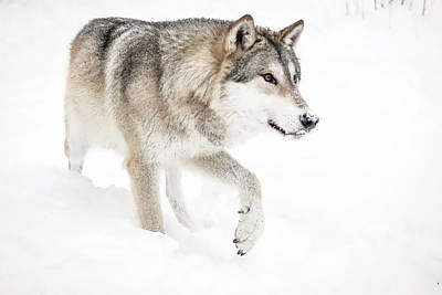 Photograph - Grey Wolf Coming Home by Athena Mckinzie