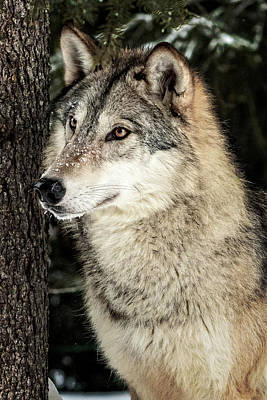 Photograph - Grey Wolf by Wes and Dotty Weber