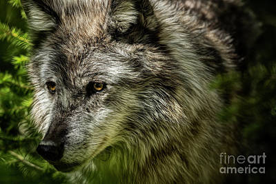 Photograph - Grey Wolf II by Brad Allen Fine Art