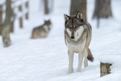 Photograph - Grey Wolf In Snow With Wolf In Distance by Dan Friend