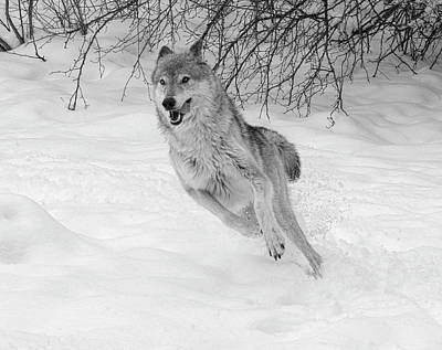 Photograph - Grey Wolf In Winter by Steve McKinzie