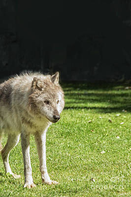 Photograph - Grey Wolf by Patricia Hofmeester