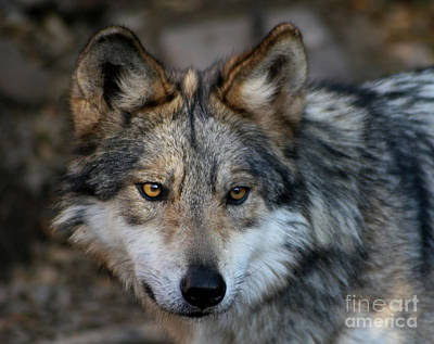 Photograph - Grey Wolf by Paula Guttilla