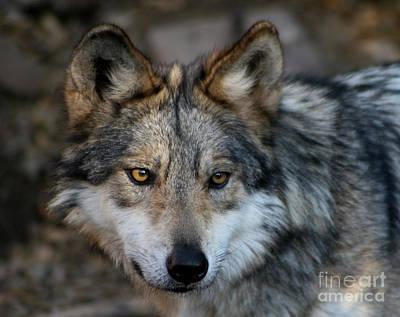 Photograph - Grey Wolf by Paula Guttilla