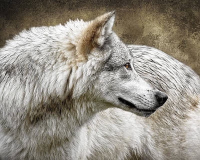 Photograph - Grey Wolf Portrait by Wes and Dotty Weber