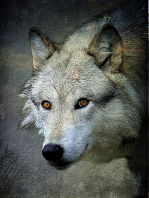 Photograph - Grey Wolf Portrait by Steve McKinzie