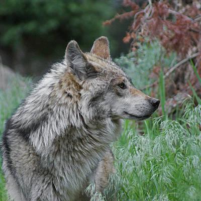 Mexican Mixed Media - Grey Wolf Profile 2 by Ernie Echols