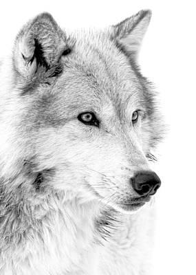 Photograph - Grey Wolf Profile by Athena Mckinzie