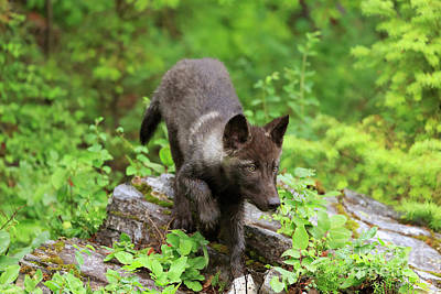 Wolf Pup Photograph - Grey Wolf Pup Canis Lupus by Louise Heusinkveld
