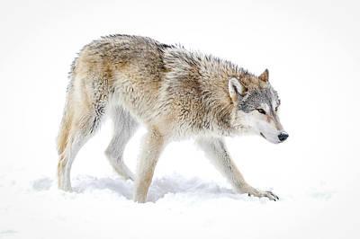Photograph - Grey Wolf Winter Xi by Athena Mckinzie