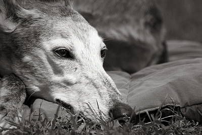 Rescued Greyhound Photograph - Greyful by Angela Rath