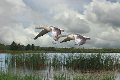 Digital Art - Greylag Geese In Flight by Spadecaller
