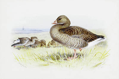 Geese Mixed Media - Greylag Goose By Thorburn by Archibald Thorburn