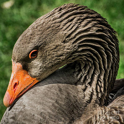 Greylag Goose Portrait  Art Print by Gary Whitton