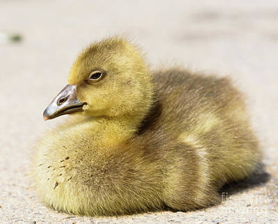 Photograph - Greylag Gosling by Colin Rayner