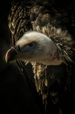 Photograph - Griffon Vulture by Darren Wilkes