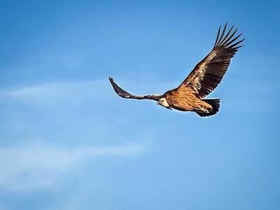 Photograph - Griffon Vulture by Meir Ezrachi