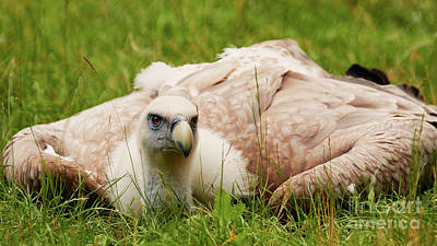 Photograph - Griffon Vulture by Nick Biemans