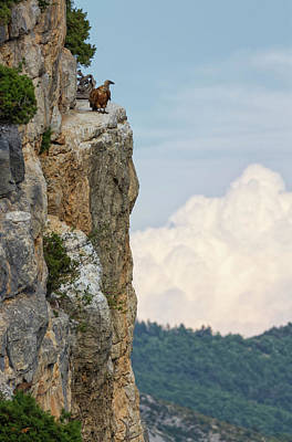 Photograph - Griffon Vulture Standing On The Cliff, Drome Provencale, France by Elenarts - Elena Duvernay photo