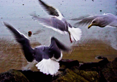 Photograph - Gritty Seagulls by Adria Trail