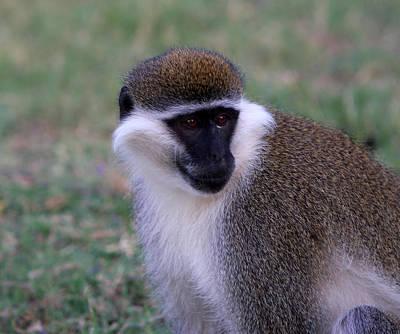 Photograph - Grivet Monkey Ethiopia by Aidan Moran