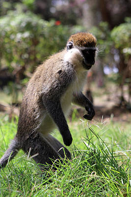 Photograph - Grivet Monkey Of The Great Rift Valley by Aidan Moran
